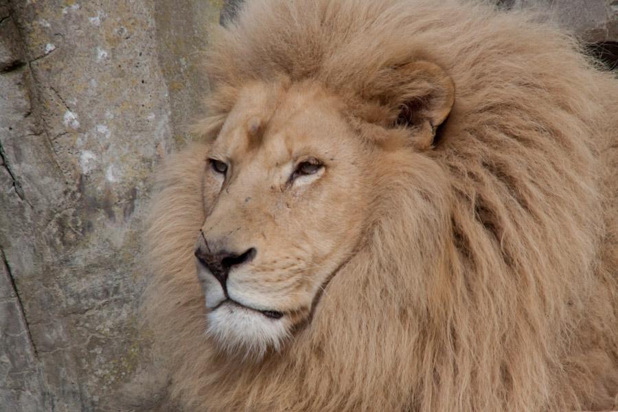 Blonde leeuw