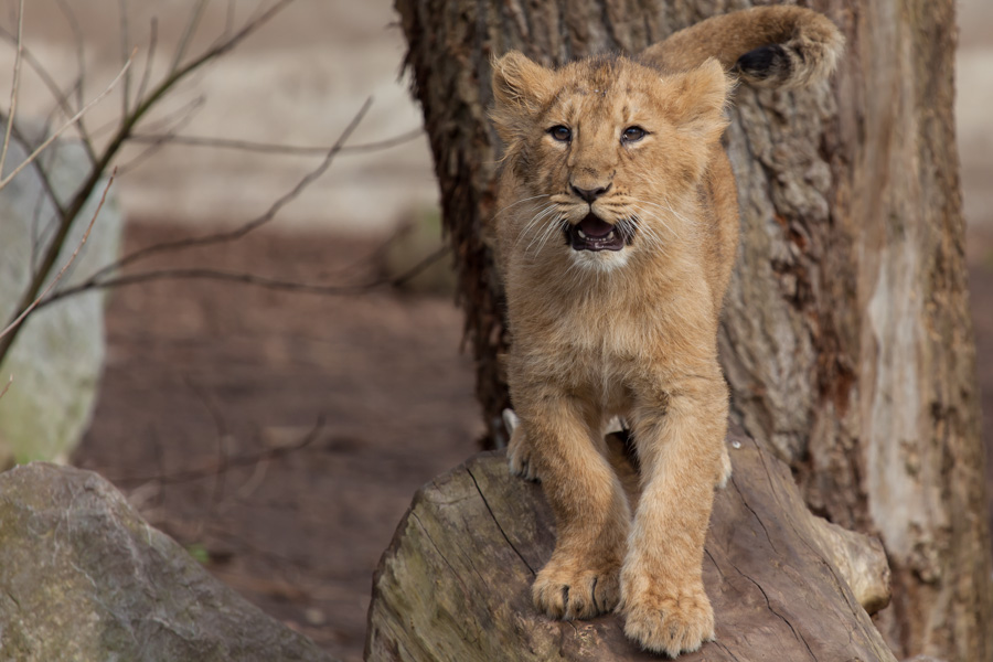 Leeuw