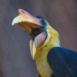 Maleise jaarvogel