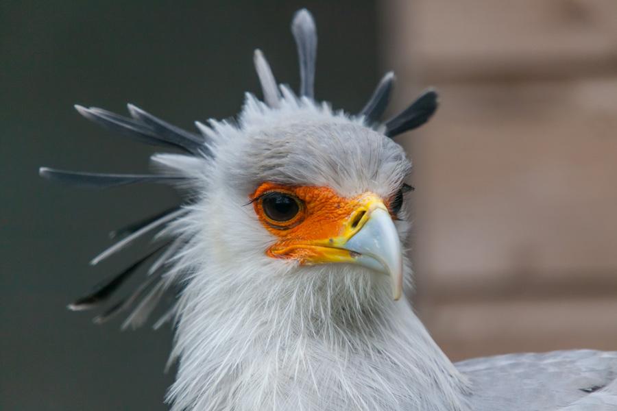 Secretarisvogel
