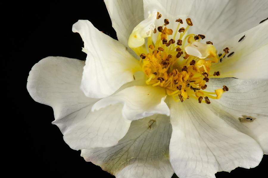 Rozebottel bloem wit