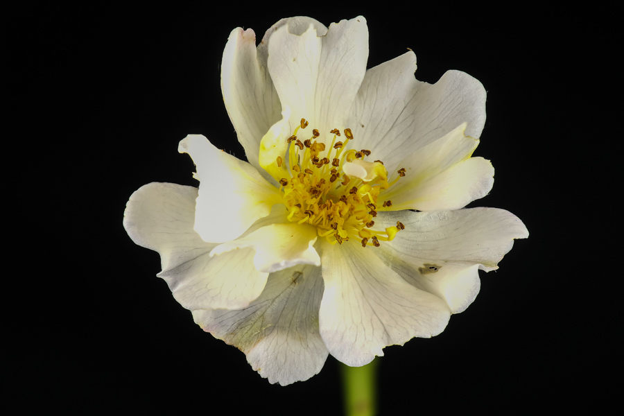 Rozebottel bloem wit1