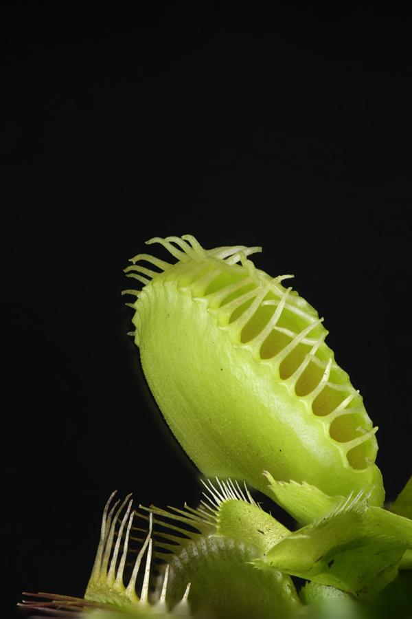 Venusvliegenval