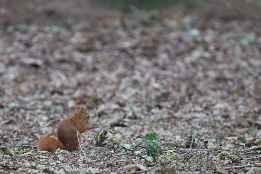 Eekhoorn bij ons huisje