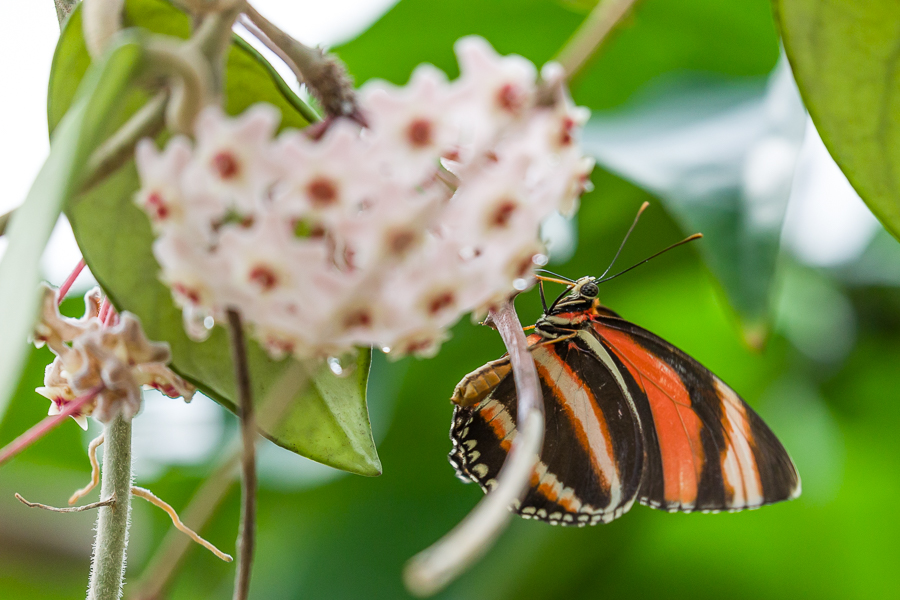 Tijgervlinder