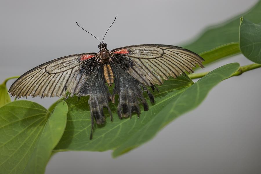 Papilio_lowi